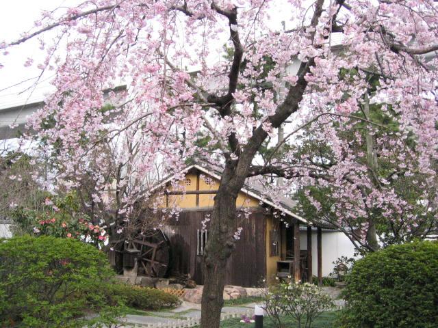 20060326sakura2.jpg